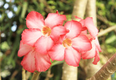 Rosa Adeniumblume Stockbild
