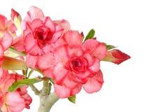 Rosa Adeniumblume lokalisiert auf weißem Hintergrund Lizenzfreie Stockfotografie