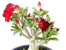 Rosa Adeniumblume lokalisiert auf weißem Hintergrund Lizenzfreie Stockbilder