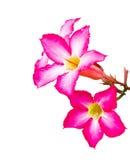 Rosa Adeniumblume lokalisiert mit Wassertropfen Lizenzfreie Stockfotos