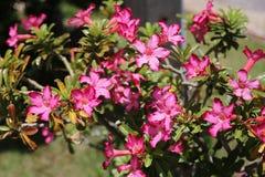 Rosa Adeniumblumen Lizenzfreie Stockbilder