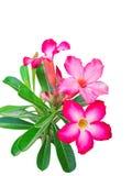 Rosa Adeniumblumen Isolat Lizenzfreie Stockfotografie