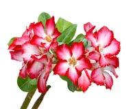 Rosa Adeniumblumen Isolat stockbilder