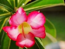rosa adeniumobesum för öken arkivbilder