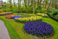 Rosa adiantado fresco da mola, roxo, bulbos brancos do jacinto Canteiro de flores com os jacintos no parque de Keukenhof, Lisse,  Fotografia de Stock Royalty Free