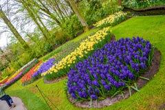 Rosa adiantado fresco da mola, roxo, bulbos brancos do jacinto Canteiro de flores com os jacintos no parque de Keukenhof, Lisse,  Fotos de Stock Royalty Free