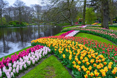 Rosa adiantado fresco da mola, roxo, bulbos brancos do jacinto Canteiro de flores com os jacintos no parque de Keukenhof, Lisse,  Fotografia de Stock