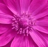 Rosa Adonis-Blumennahaufnahme Haselnuss, Haselnuss Es kann im Websitedesign und -drucken verwendet werden Stockbild