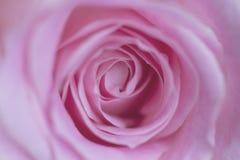 Rosa adorabile incantante, fine su immagini stock libere da diritti