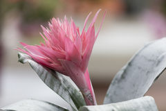 Rosa aechmea Blume in der Blüte Stockbild