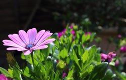 Rosa africano Daisy Flower do cabo Imagens de Stock