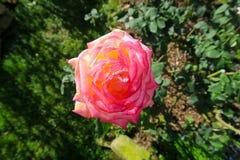 Rosa agradable del rosa que brilla en la luz Fotos de archivo libres de regalías