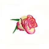 Rosa aislada acuarela del rosa Foto de archivo libre de regalías