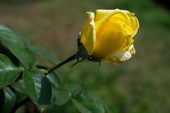 Rosa aislada del amarillo con las hojas Imagen de archivo
