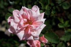 Rosa aislada del rosa de la plena floración Imágenes de archivo libres de regalías