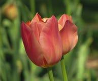 Rosa aislado, naranja, tulipán en colores pastel del melocotón imágenes de archivo libres de regalías
