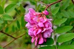 Rosa akacia Arkivfoto