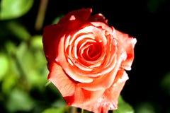 Rosa al giorno di anno Immagine Stock Libera da Diritti