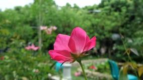 Rosa al sole Fotografia Stock