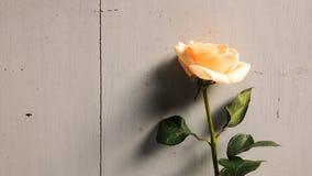 Rosa alaranjada Imagem de Stock Royalty Free
