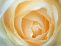 Rosa alaranjada Imagens de Stock Royalty Free