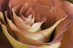 Rosa alaranjada   Imagens de Stock