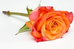 Rosa alaranjada Fotos de Stock