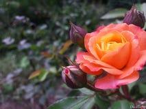 Rosa alaranjada Imagem de Stock
