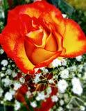 Rosa alaranjada Fotos de Stock Royalty Free