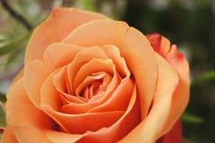 Rosa alaranjada Fotografia de Stock