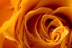 Rosa alaranjada com o close up do macro das gotas de orvalho Imagens de Stock Royalty Free