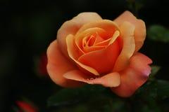 Rosa alaranjada com pingos de chuva imagem de stock royalty free