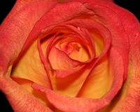 Rosa alaranjada e vermelha Fotografia de Stock