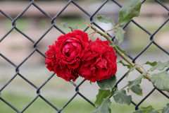 Rosa 'All Ablaze'. Climbing rose with large clusters of cherry red double ruffled flowers with mild spicy fragrance, on both old and new wood Royalty Free Stock Images