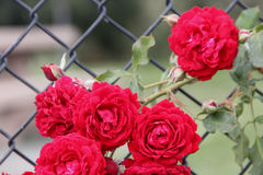 Rosa 'All Ablaze'. Climbing rose with large clusters of cherry red double ruffled flowers with mild spicy fragrance, on both old and new wood Royalty Free Stock Photography