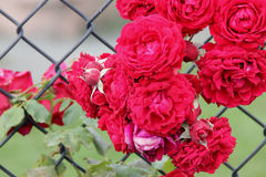 Rosa 'All Ablaze'. Climbing rose with large clusters of cherry red double ruffled flowers with mild spicy fragrance, on both old and new wood Royalty Free Stock Image