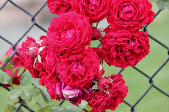 Rosa 'All Ablaze'. Climbing rose with large clusters of cherry red double ruffled flowers with mild spicy fragrance, on both old and new wood Stock Photography
