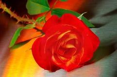 Rosa all'indicatore luminoso dorato Fotografie Stock Libere da Diritti