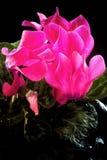 Rosa Alpenveilchen auf schwarzem Hintergrund Stockbilder
