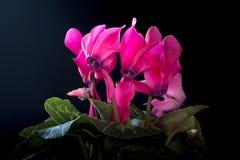Rosa Alpenveilchen auf schwarzem Hintergrund Lizenzfreie Stockbilder