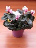 Rosa Alpenveilchen persicum in einem purpurroten Topf stockfoto