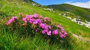 Rosa alpina Fotografie Stock