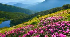 Rosa alpina Immagini Stock
