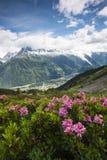 Rosa alpina Fotografia Stock