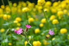 Rosa alpina blommor i ett fält av globeflowers Arkivbild