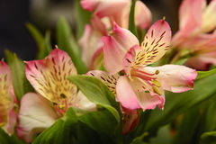 Rosa Alstroemeria lizenzfreies stockfoto