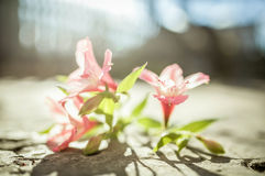 Rosa Alstroemeria Stockfotos