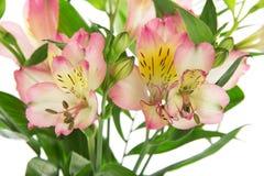 Rosa alstroemeria i en vas med vatten royaltyfri foto