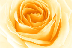 Rosa amarela Fotos de Stock
