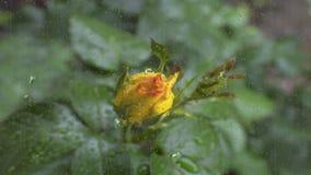Rosa amarela na chuva video estoque